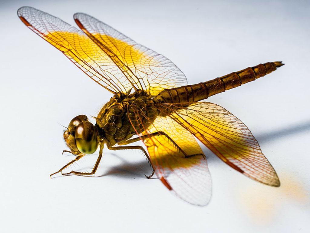 Este es el significado mágico de las libélulas