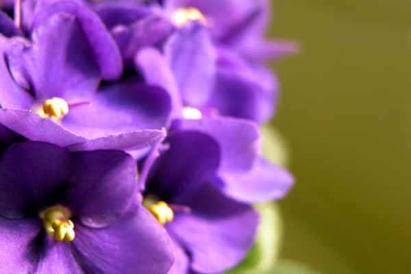 LOS PERFUMES DEL AMOR: La Violeta